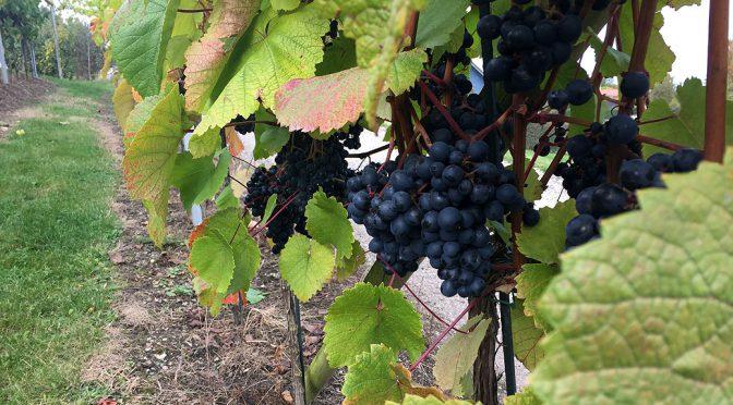 Besøg på dansk vingård … Langå Søgård