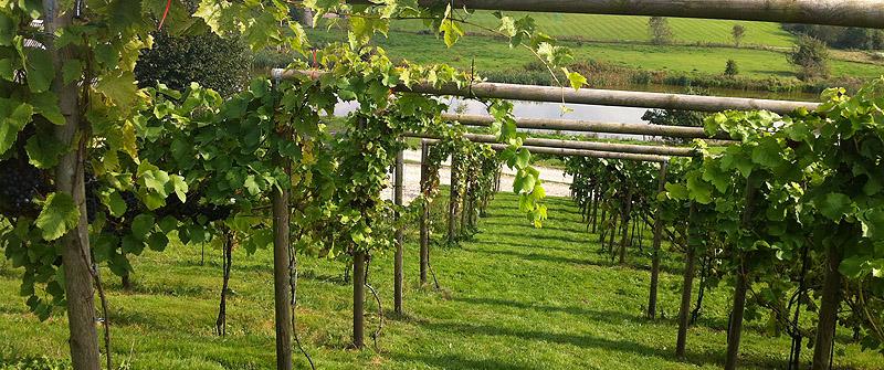 Ganske stejlt på vinmarken