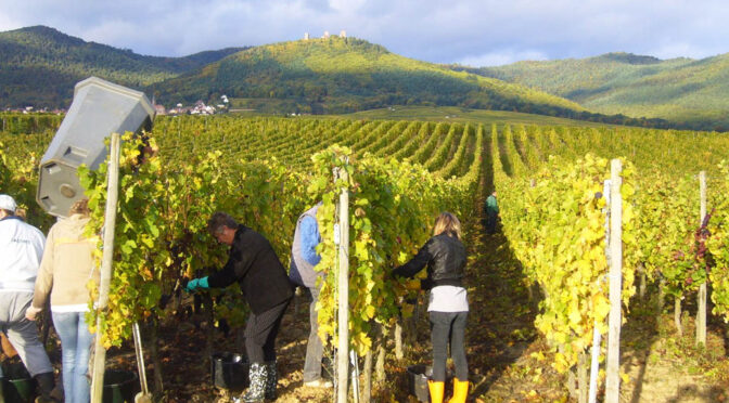 2016Domaine Léon Beyer, Pinot Gris Grand Cru EichbergComtes d'Eguisheim, Alsace, Frankrig